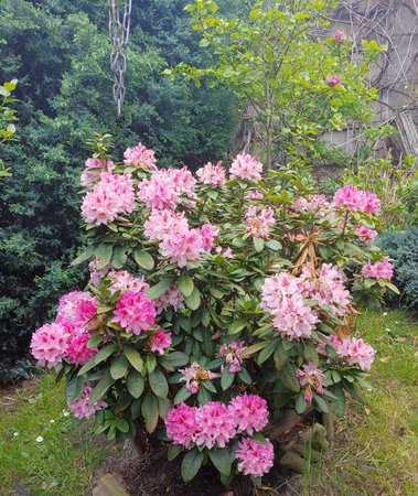rododendron1.jpg