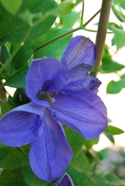 clematis 'Mrs Cholmondeley'.JPG